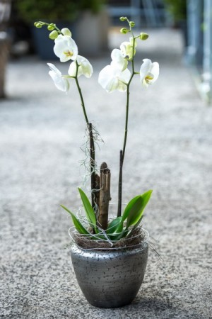 Orchidee in edlem Gefäss
