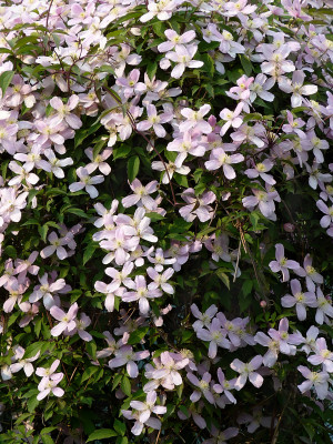 Waldrebe Clematis montana